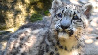 Akron snow leopard Baya