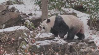 Video extra: Panda bear frolics in the snow in Washington Zoo