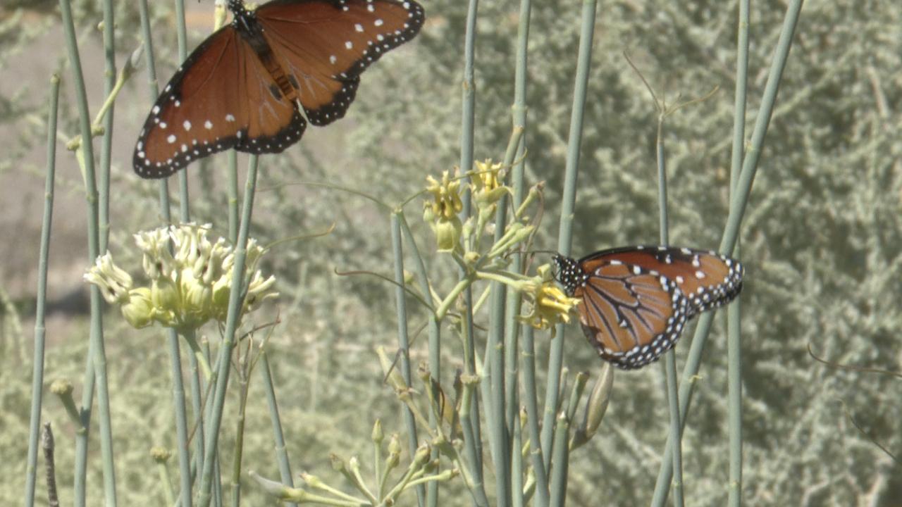 Queen butterflies at El Rio Preserve