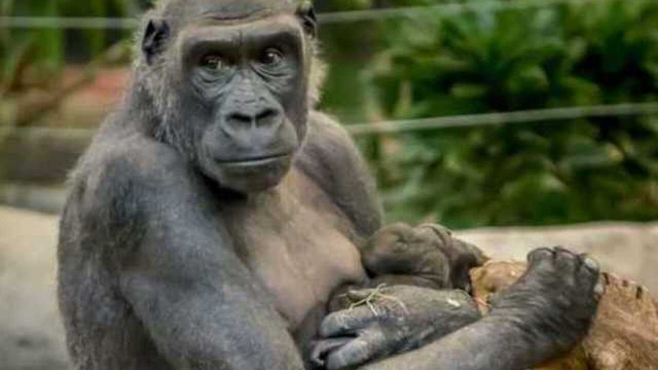 Gorillas' deaths maybe caused by E. coli