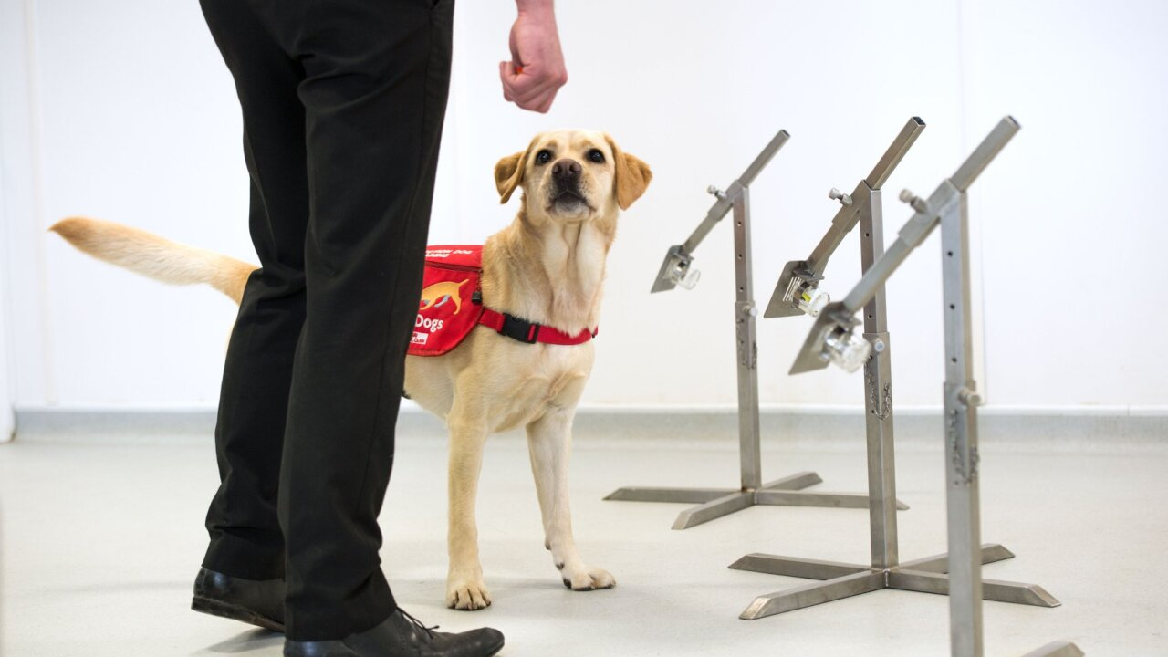 Dogs in England being trained to detect coronavirus in humans to help stop spread