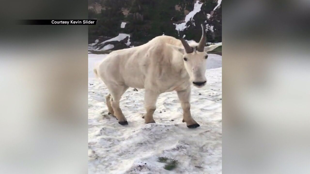 Man has startling encounter with mountain goat at Mt.Timpanogos
