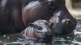 san diego zoo Pygmy Hippo Calf akobi