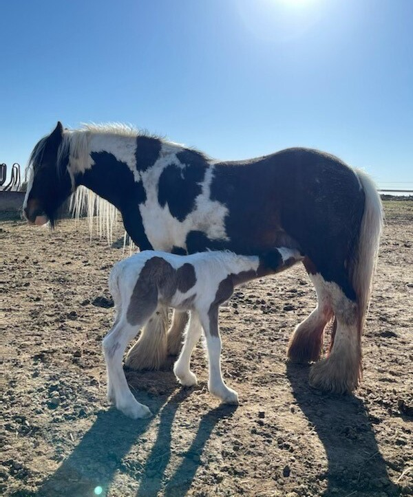 Stolen colt from property north of Fort Lupton 3