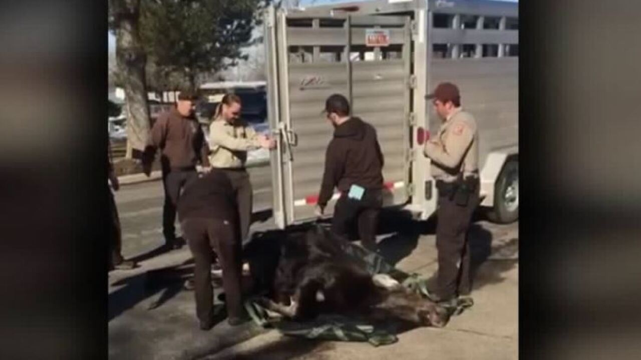 Mother moose caught, calf still sought in Utah neighborhood