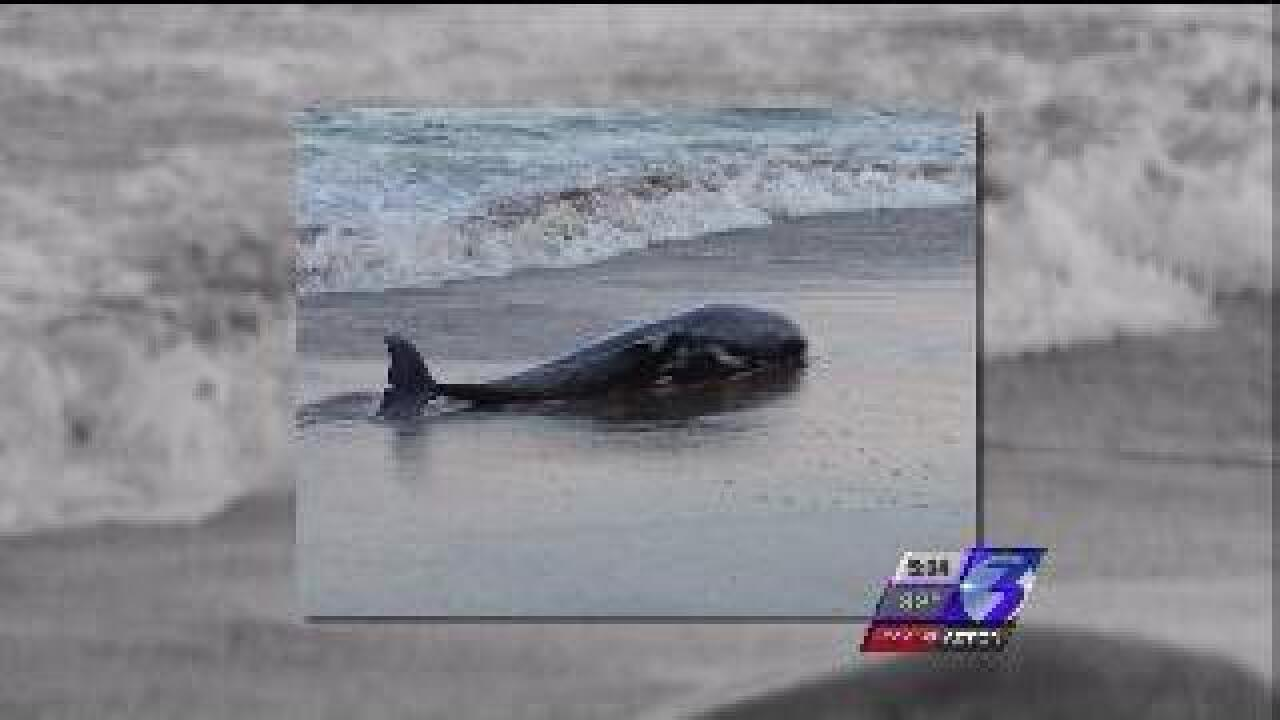 Dead dolphins washing up on Virginia beaches at an alarming rate