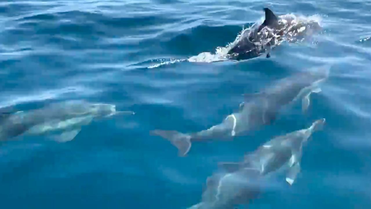megapod dolphins san diego