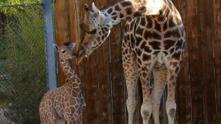 Photos: Hogle Zoo welcomes babygiraffe