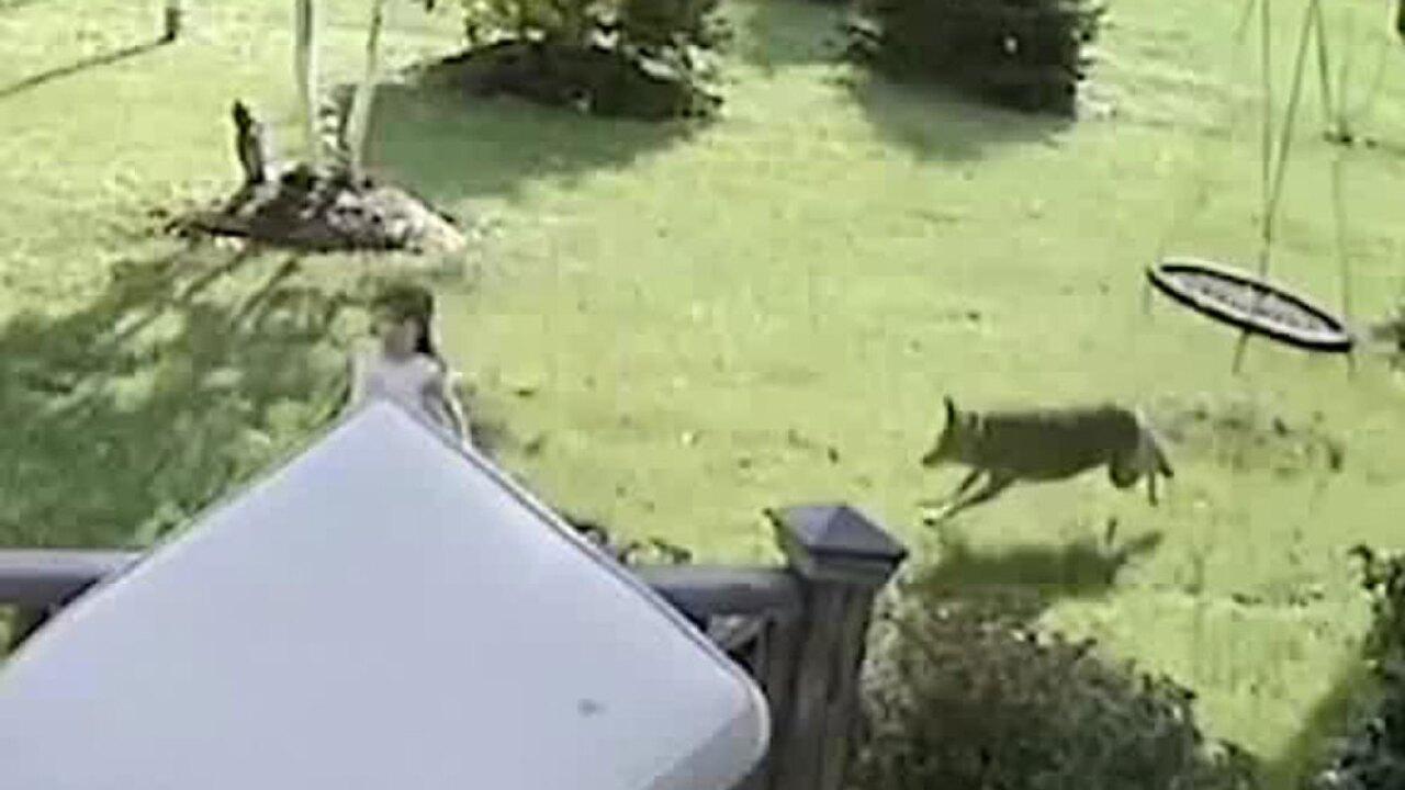 wptv-coyote-chases-girl-.jpg
