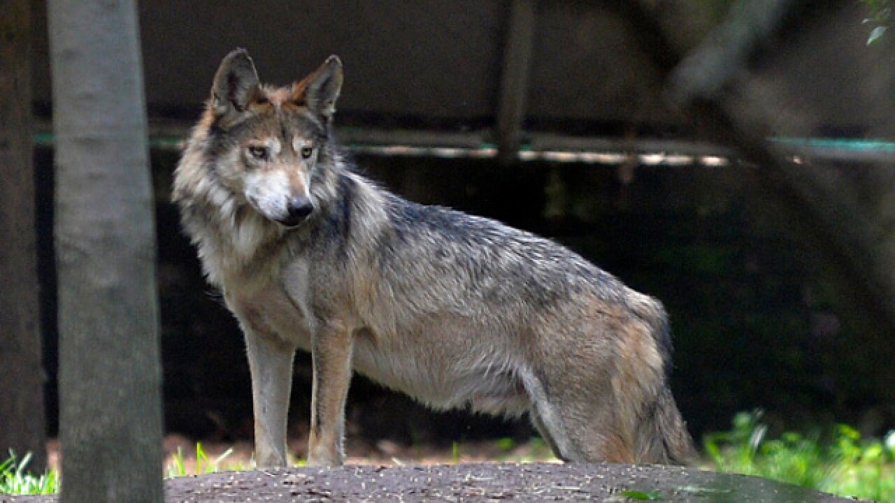 Oregon wildlife officials authorize wolf kill