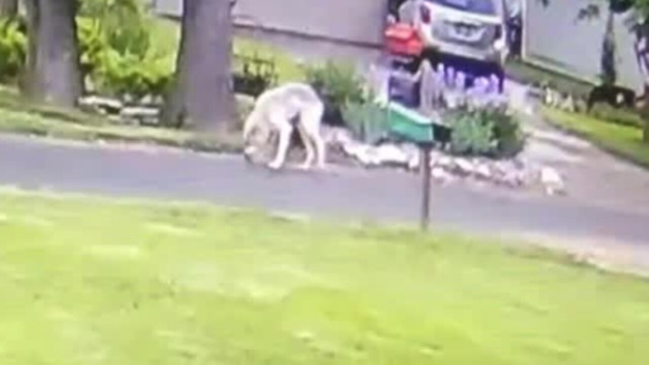 Wolf-like creature spotted in Racine County