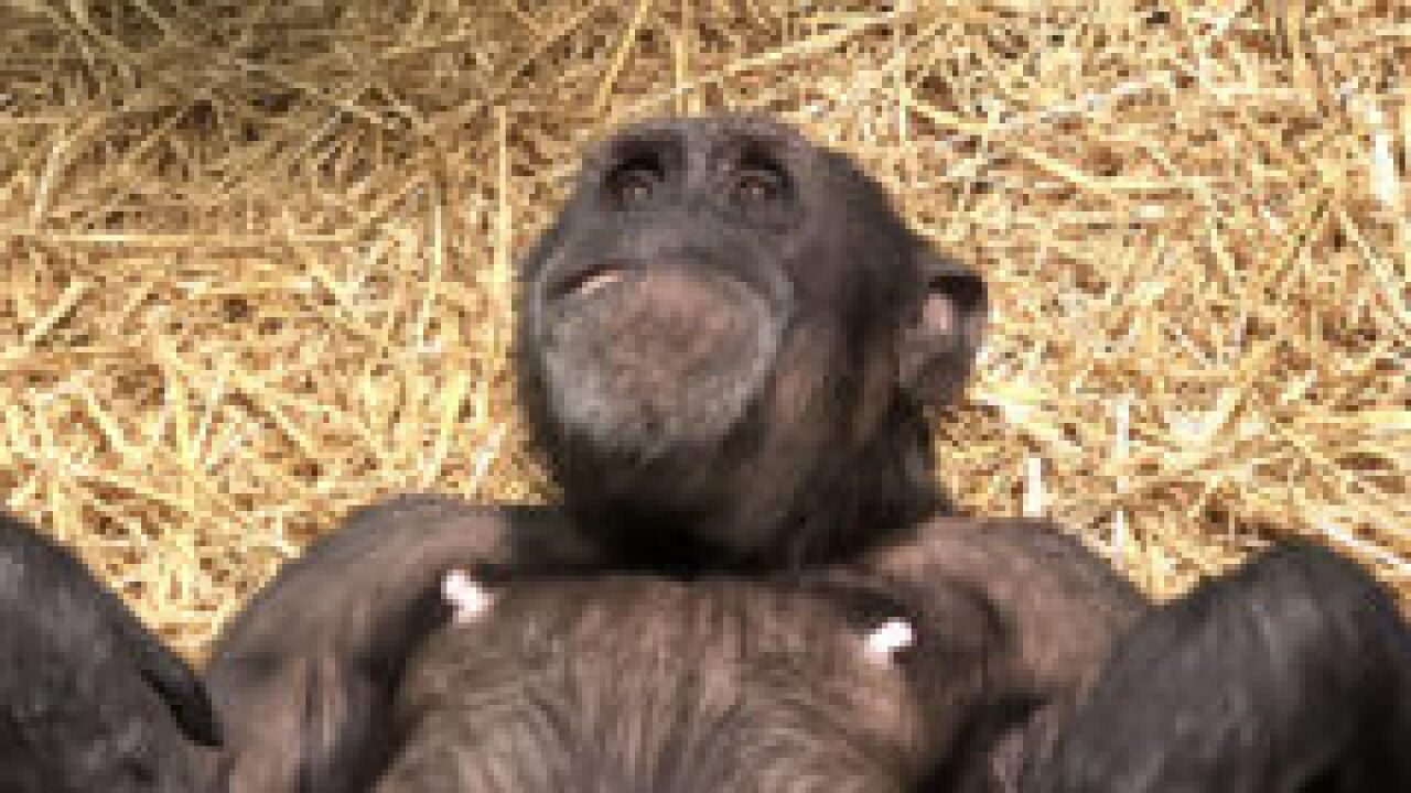 A new baby Chimpanzee is born at the Maryland Zoo