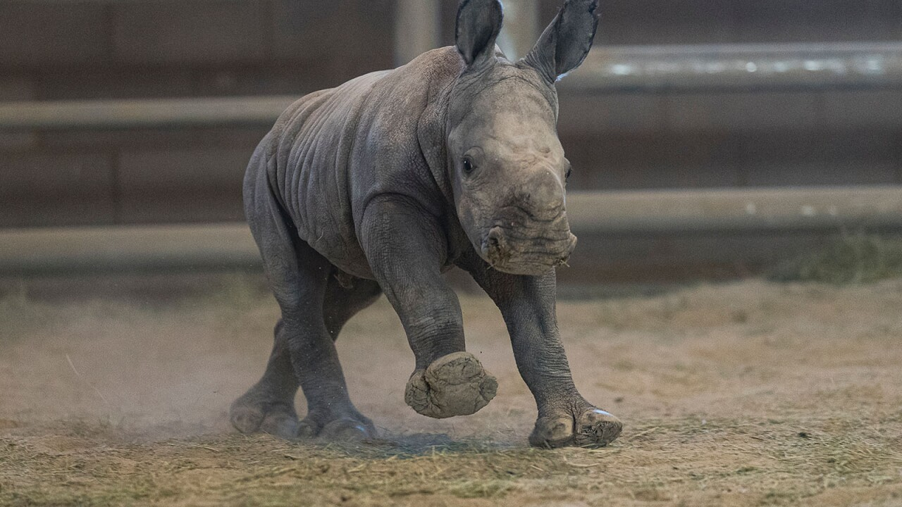 Southern White Rhino Calf Conceived Through Artificial Insemination Bonding Well with Its Mother at San Diego Zoo Safari Park  A 4-day-old female southern white rhino calf runs around the Nikita Kahn Rhino Rescue Center at the San Diego Zoo Safari Park.