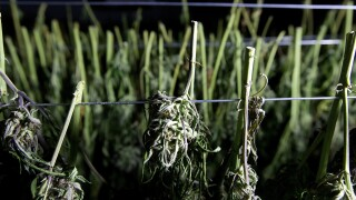 California Wildfires Marijuana Zone