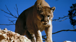 Mountain lion spotted near MSUB Wednesday morning