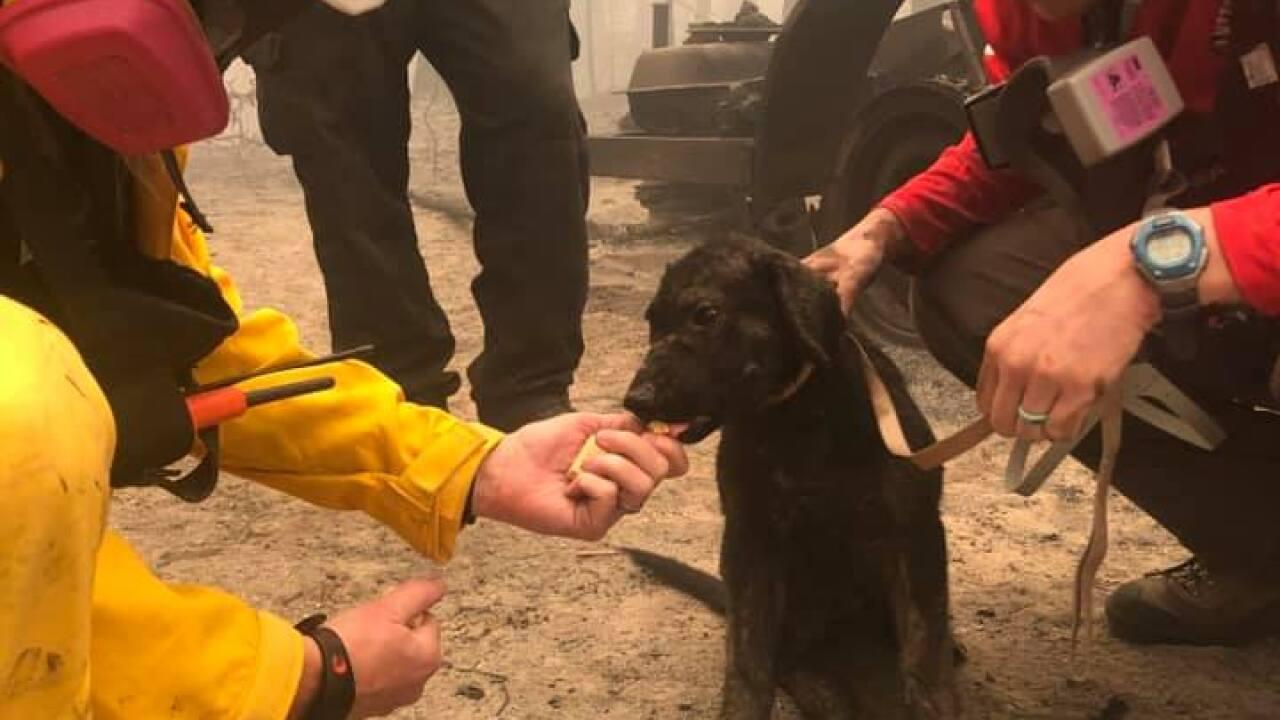 butte county north complex fire puppy_3.jpg