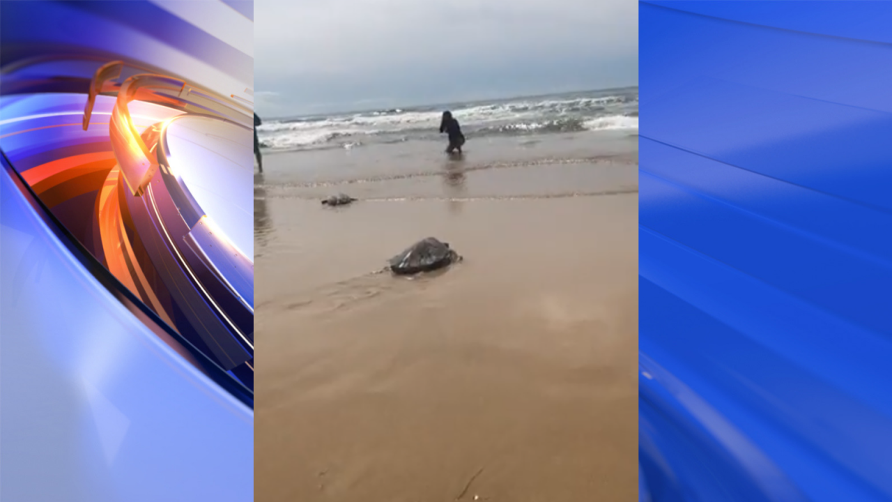 Six rehabilitated sea turtles released in Hatteras Island