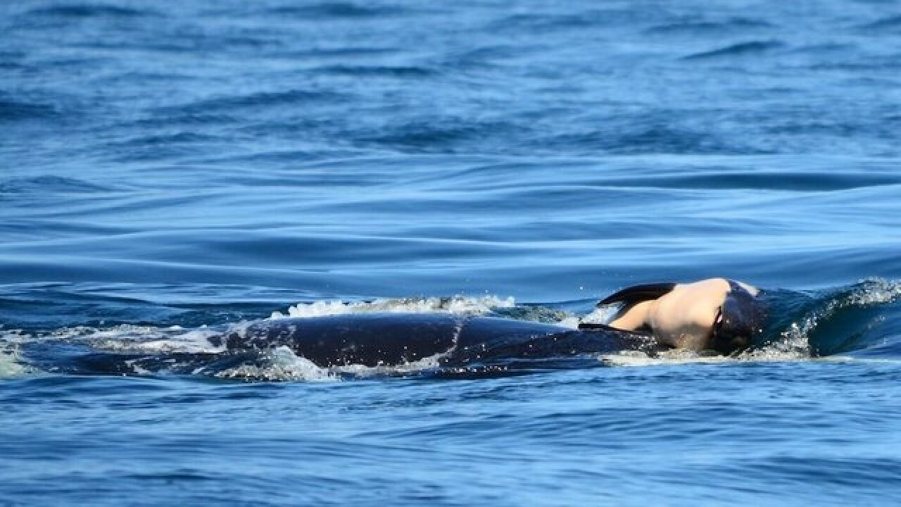An endangered orca is sick and starving. Biologists are racing to find it