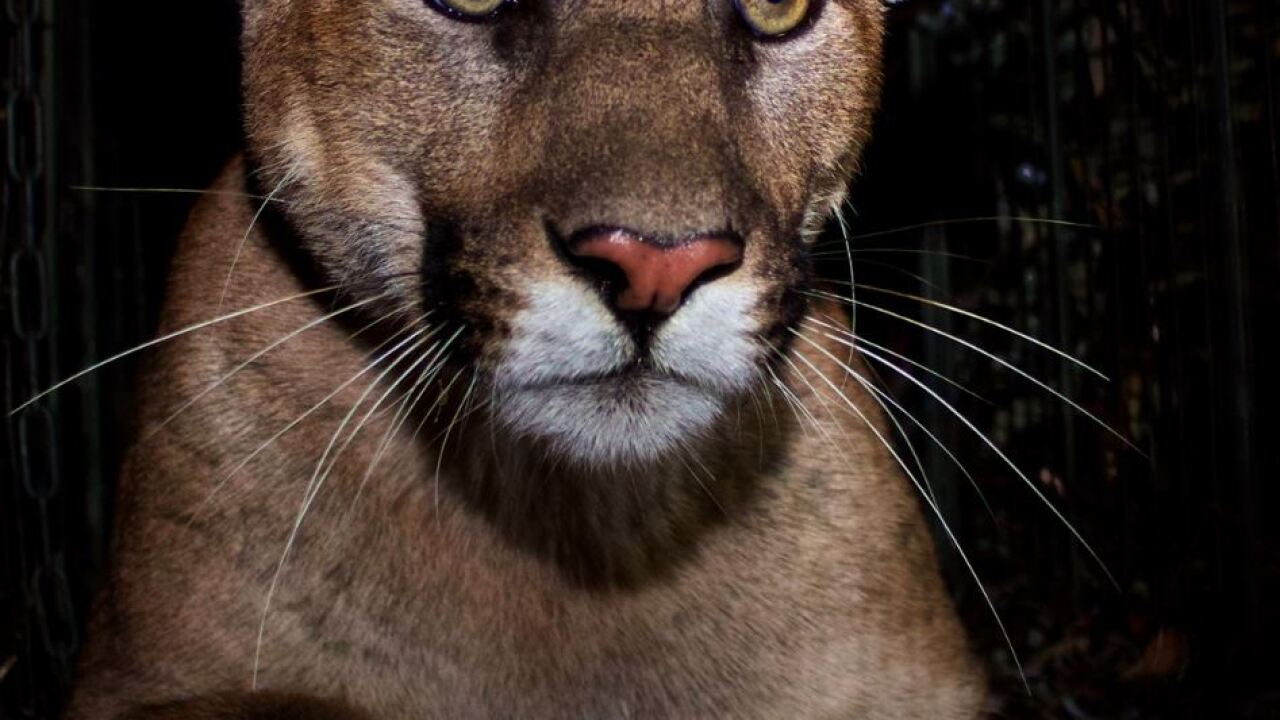 Mountain Lion killed while crossing 405 freeway.
