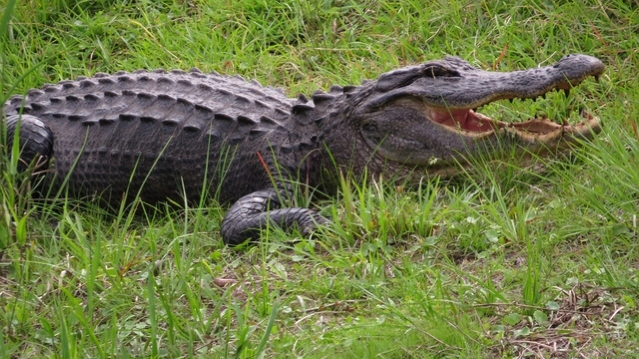 Woman killed in apparent alligator attack on Hilton Head Island