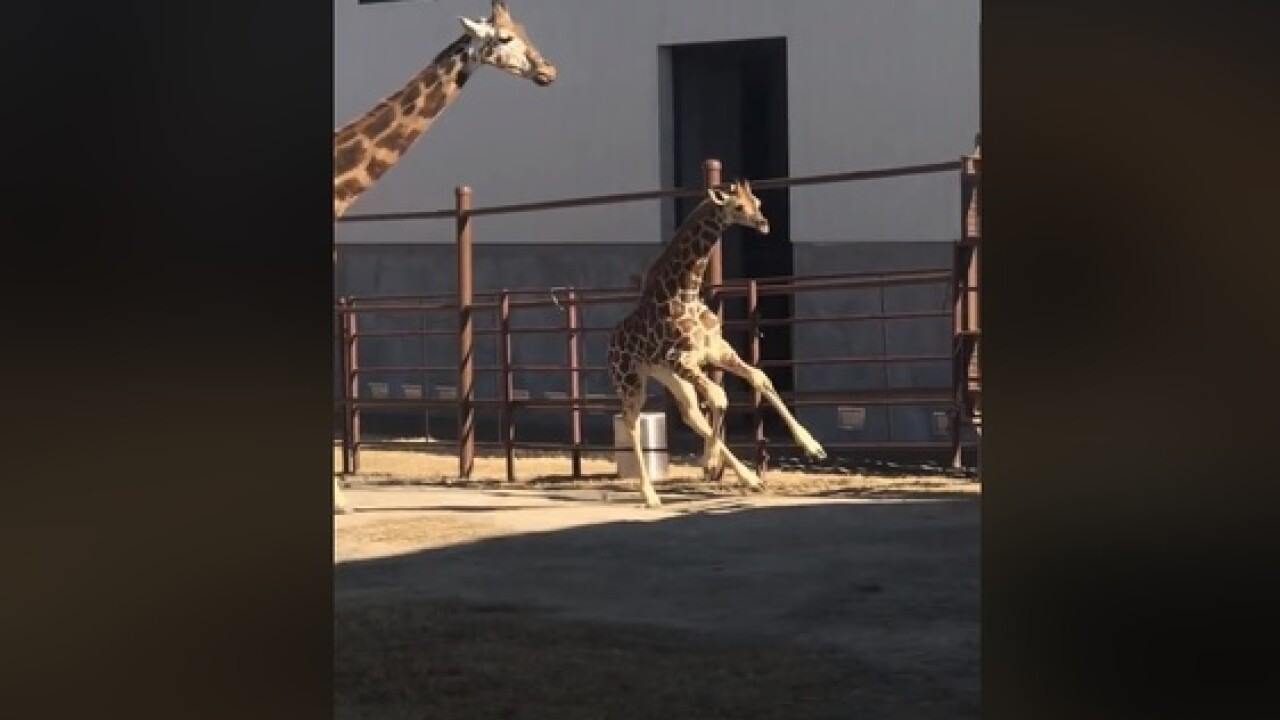 Young giraffe explores Tulsa Zoo for first time
