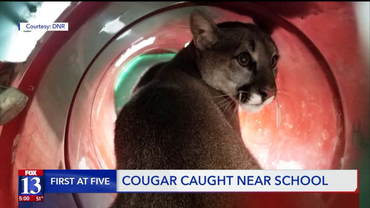 Cougar causing commotion in Bluffdale caught, released into wild