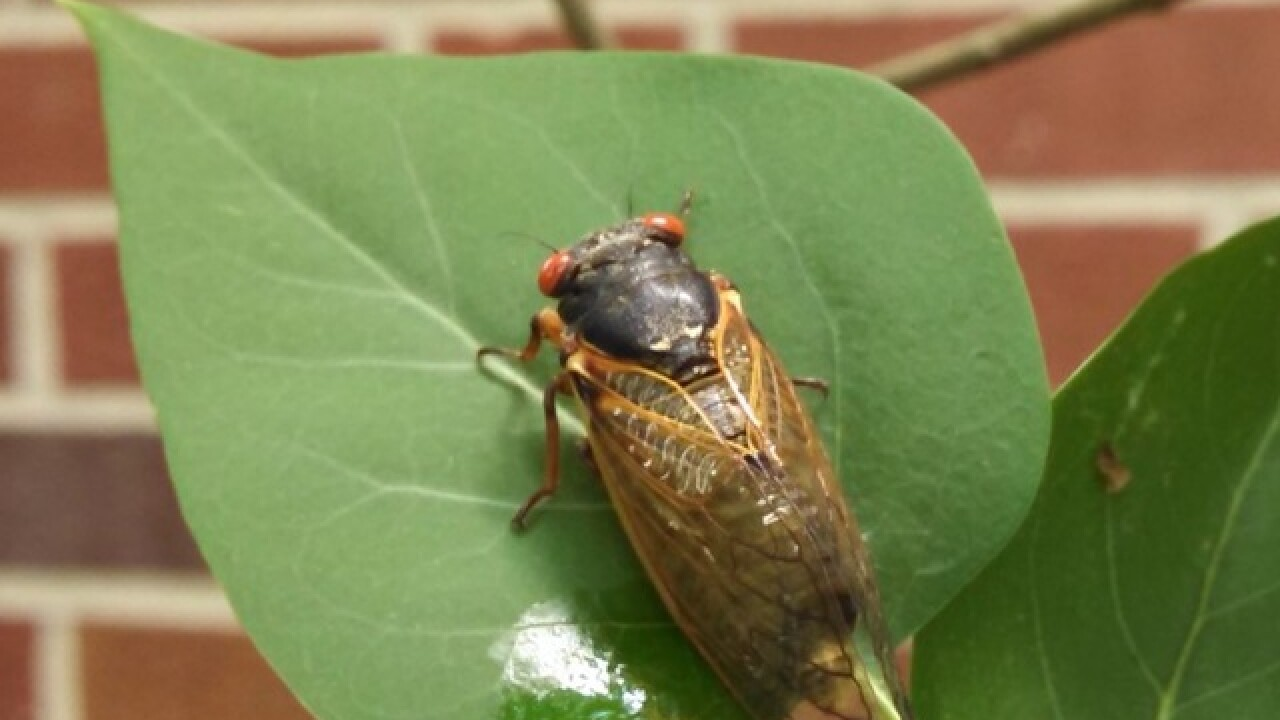 Cicada problem? Here are 9 things you need to know about everyone's least favorite bug