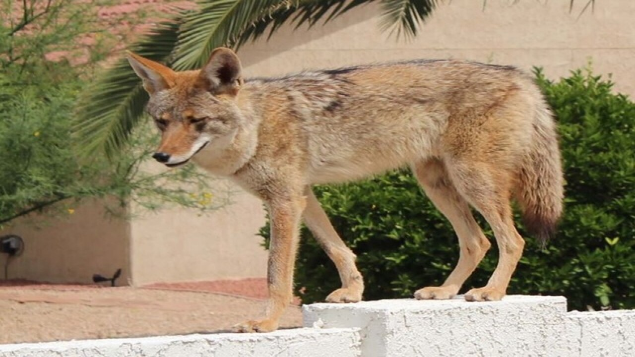 Coyote sightings popping up across the Valley