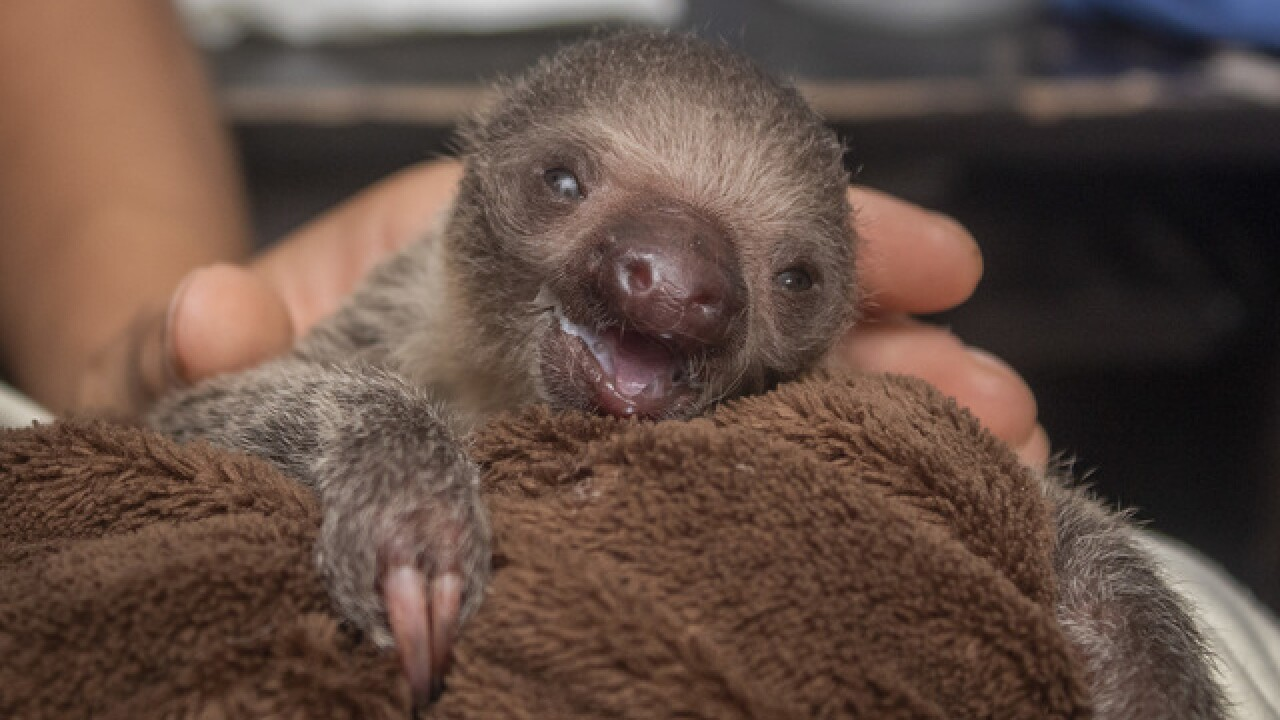 First look: Florida zoo welcomes baby sloth