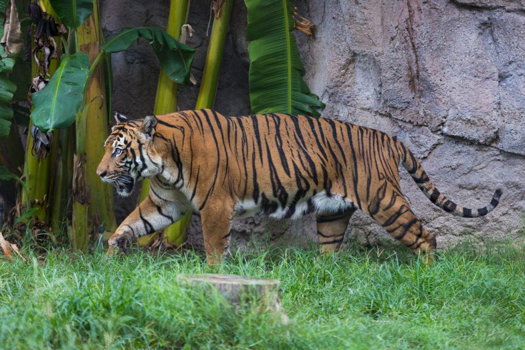 Baheem, tiger at Reid Park Zoo