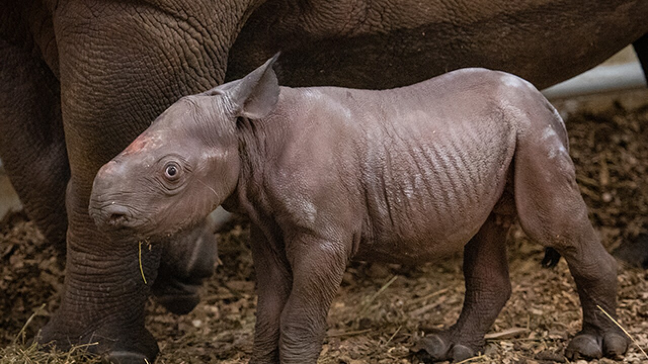 Second black rhino born at CLE zoo