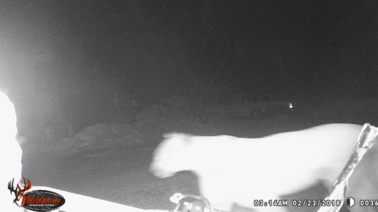 M. Falls residents' alert after cougar sighting