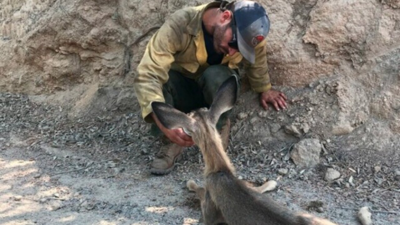 Crews battling Holy Fire take care of fawn