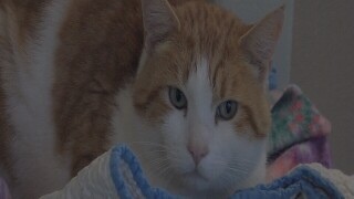 The Humane Society of Western Montana has a special for orange cats this weekend