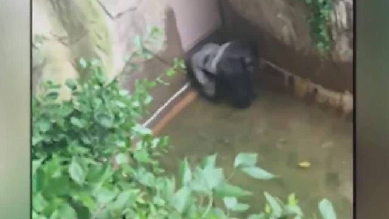 WATCH: Boy falls into gorilla enclosure at zoo