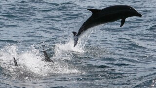 Warming oceans are killing dolphins, study shows