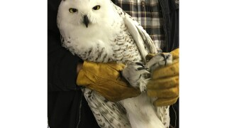 Malnourished snowy owl rescued from Michigan island