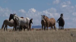 Montana Ag Network: Groups announce support for wild horse proposal