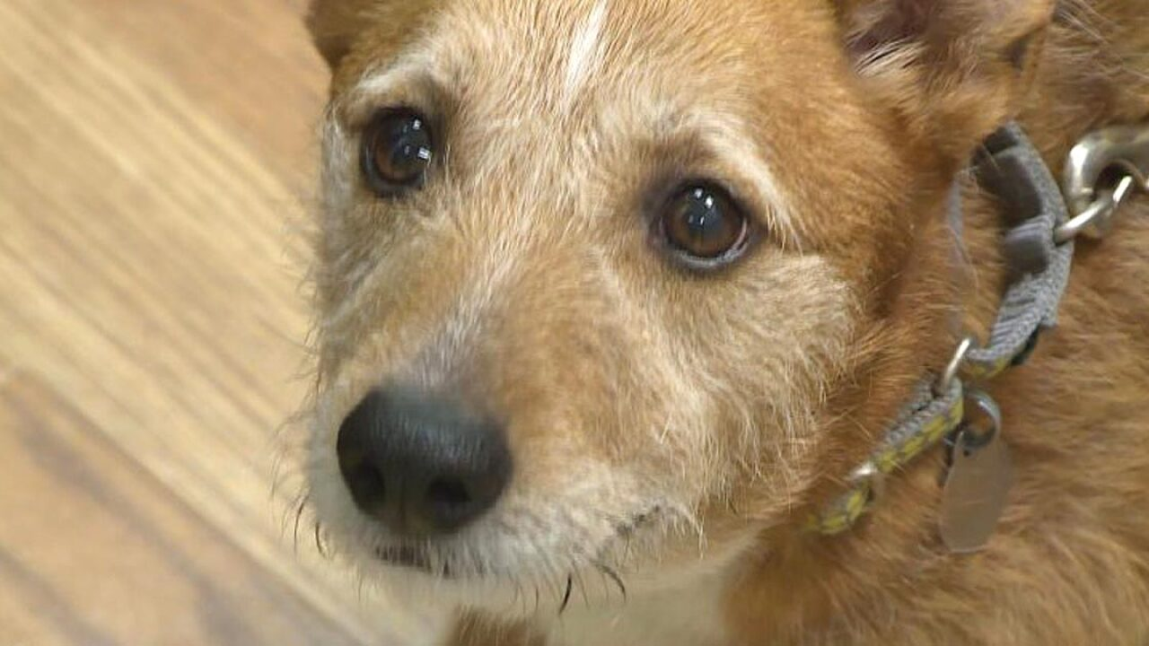 Shelter dog dying of cancer will spend last Christmas in lovinghome