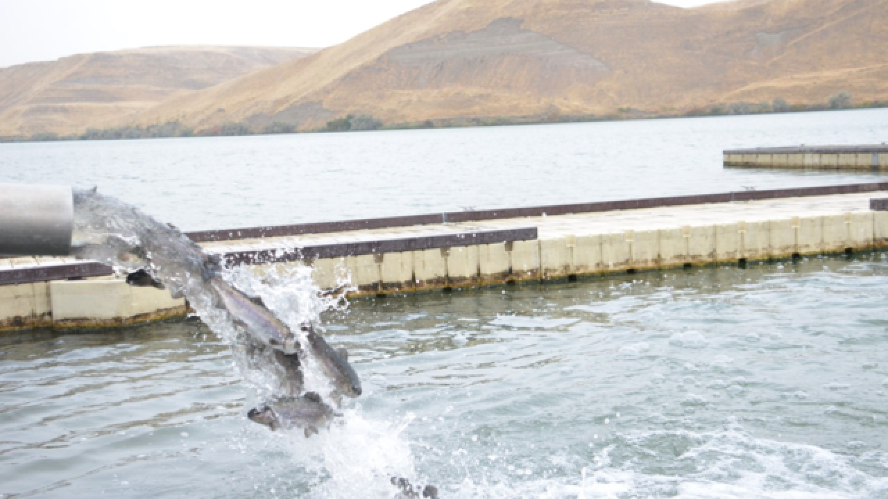 Idaho Power releases 120,000 trout