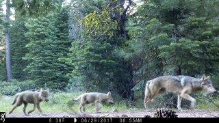 wolves1.jpeg