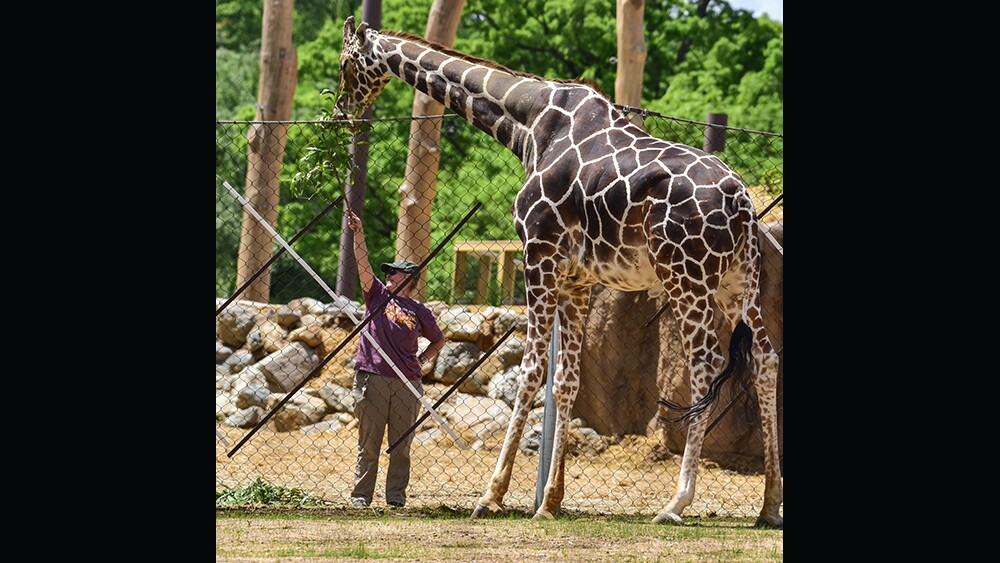 Caesar the giraffe at The Maryland Zoo (4).jpg