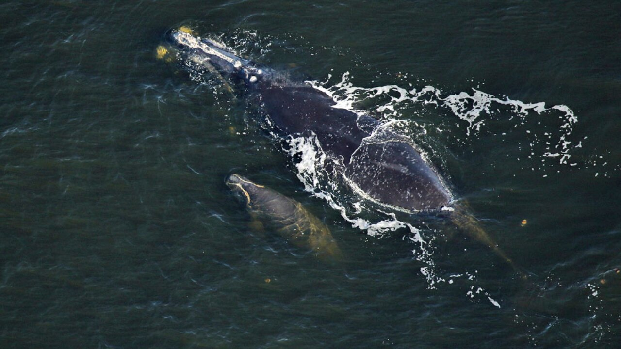 WPTV-RIGHT-WHALE-AND-CALF-.jpg
