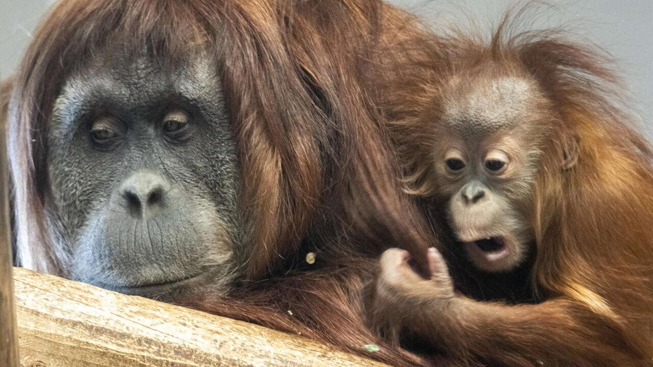 Youre Invited To The Birthday Party For Denver Zoos 1 Year Old Sumatran Orangutan