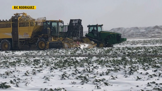 Montana Ag Network: Rain, snow and freezing temperatures hinder sugarbeet growers