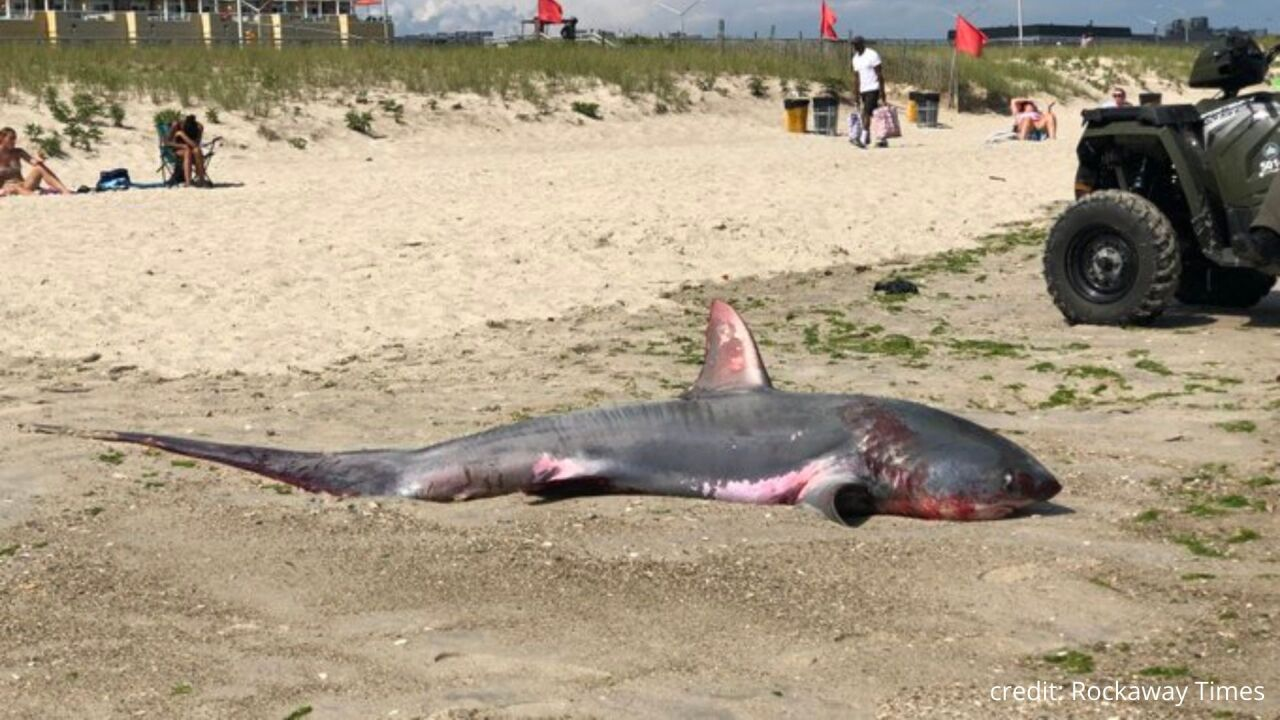 Shark washes up on Rockaway Beach in Queens