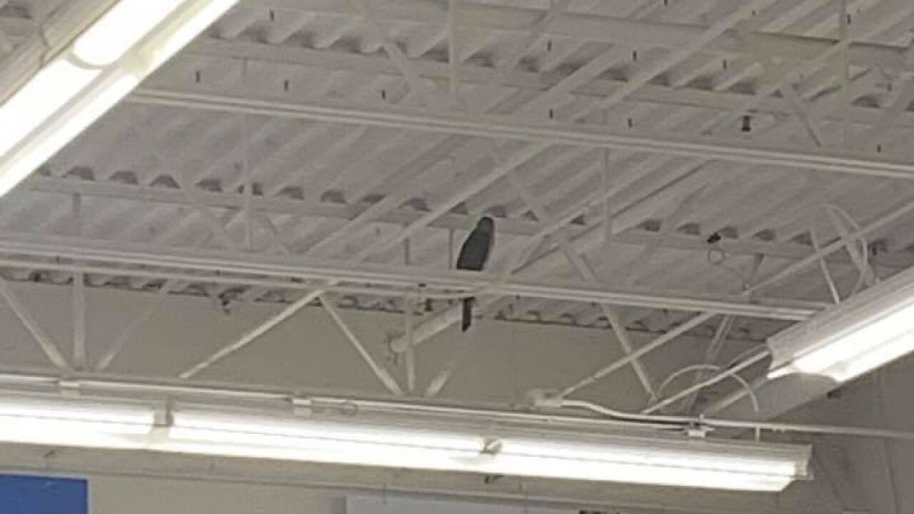 game warden  licensed falconer rescue hawk stuck inside a texas walmart