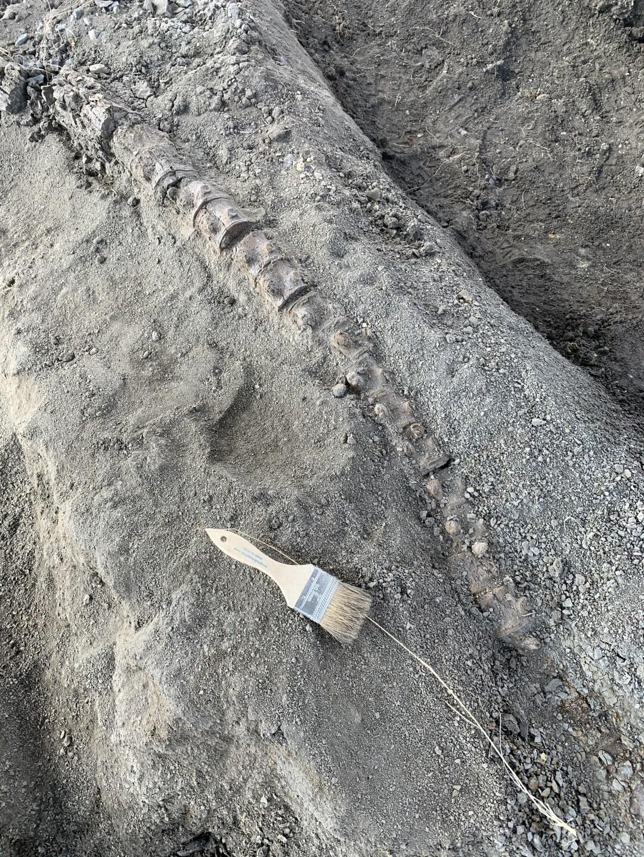 Marine reptile vertebrae discovered by Rodney and Heath Caldwell