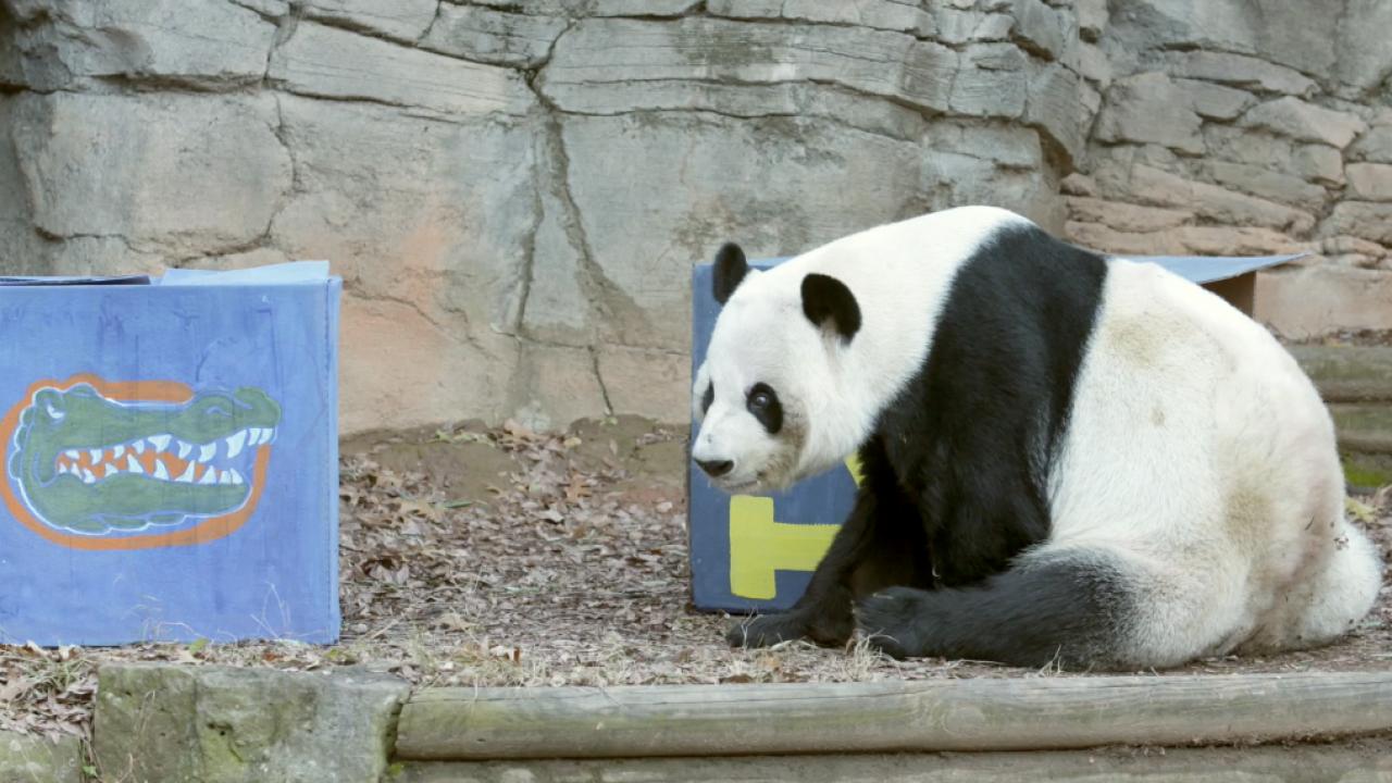 Panda Bear picks Wolverines to beat Gators