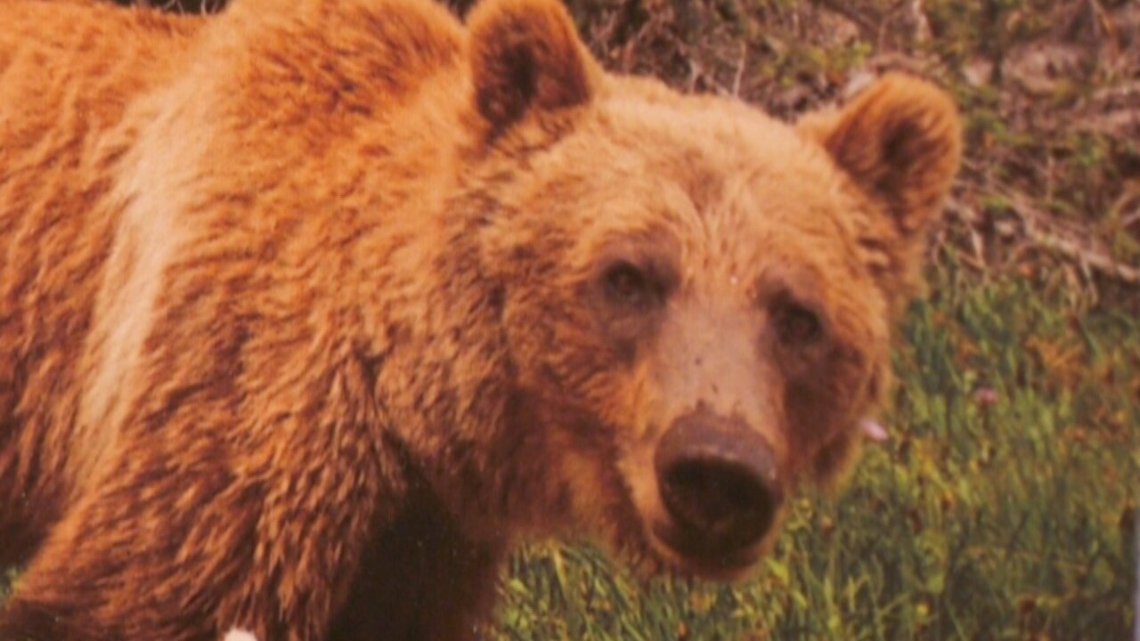 Fourth hunter injured by grizzly bear in Gravelly Mountains within about one week